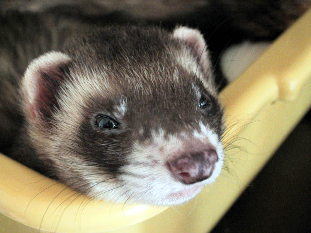 Ferret genome holds clues to respiratory diseases   Newsroom