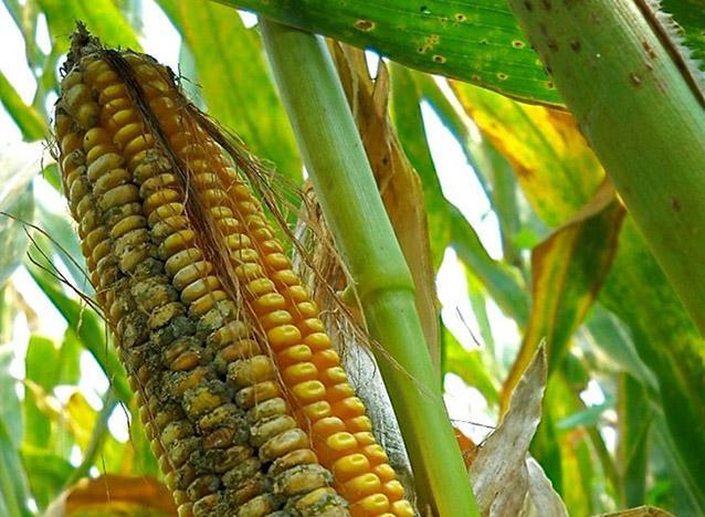 aflatoxin in corn