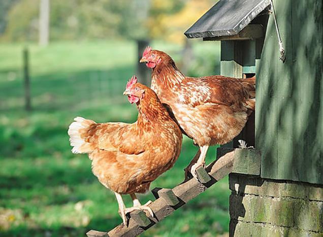 chicken USDA genome
