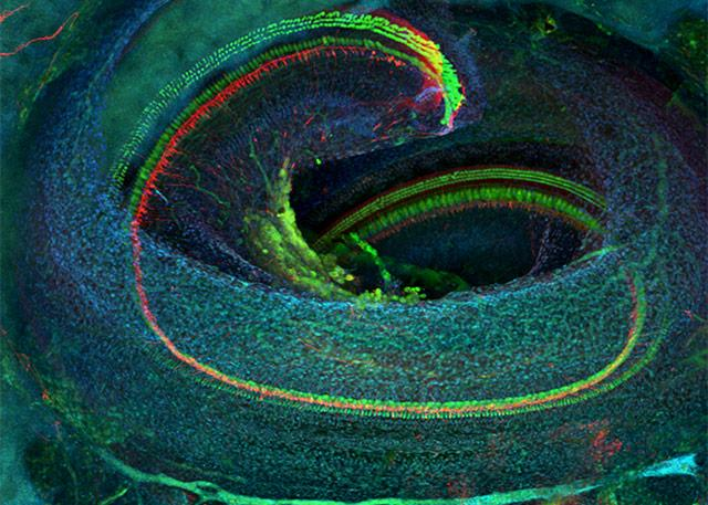 Confocal microscope image of the cochlea of a mature mouse