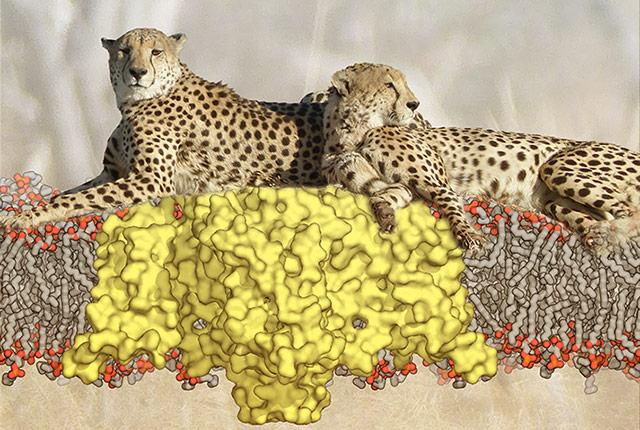 illustration of cheetahs resting atop resting sodium channels