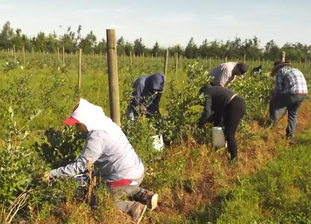 Picture of farmworkers picking blueberries