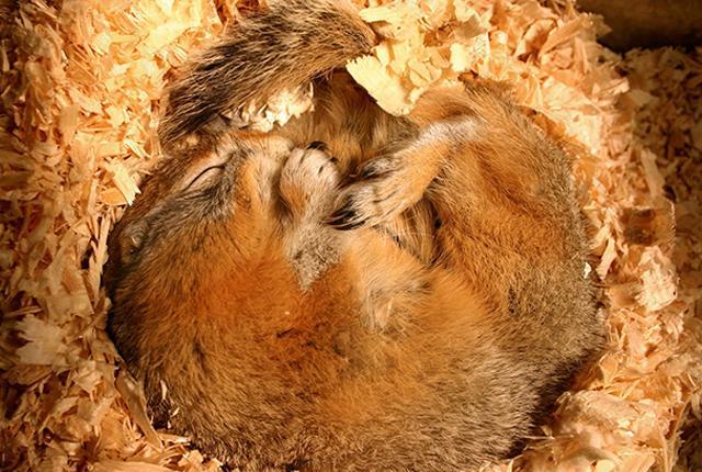 picture of hibernating squirrel