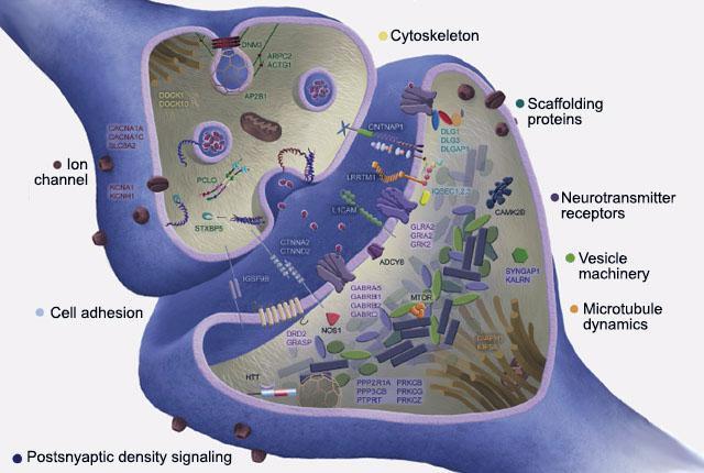Brain synaptic genes harboring damaging mutations in schizophrenia