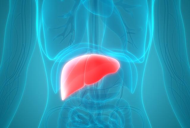 Anatomical illustration of human liver in the body