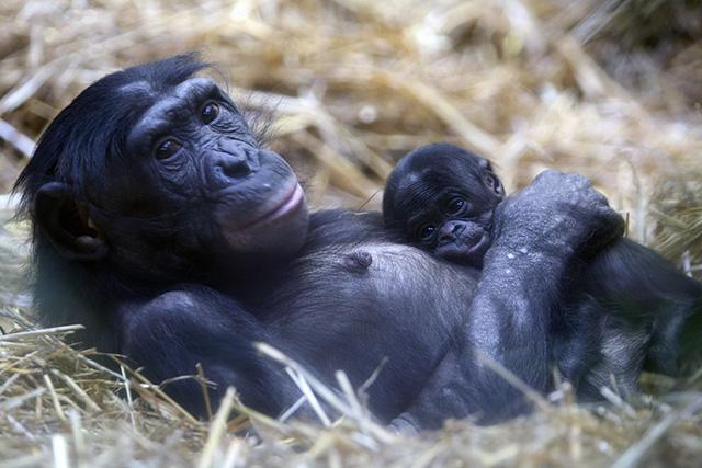 Bonobo Mhudiblu with her daughter Akeema at Wuppertal Zoo in Germany