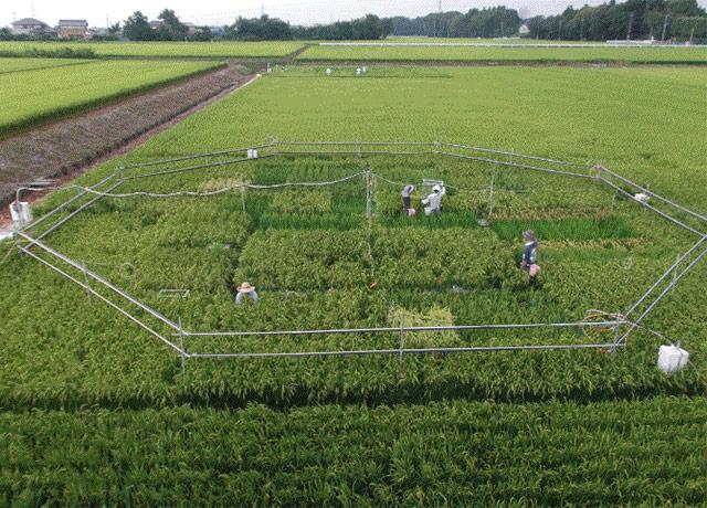 picture of rice within the octagon in this field is part of an experiment started by a University of Tokyo professor and designed to grow rice under different atmospheric conditions.