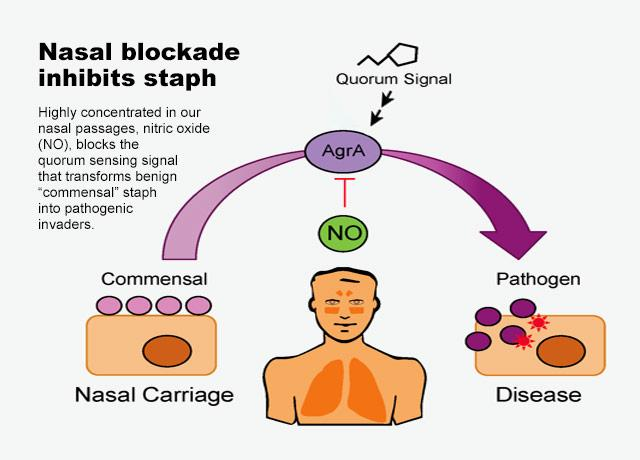 illustration of process by which nitric oxide stops staph bacteria from transforming into pathogens