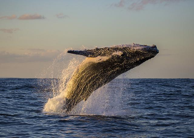 Whale breaching off the coast of Australia