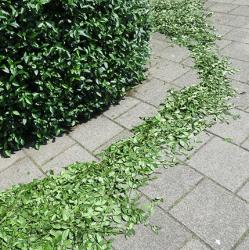 picture of a just-trimmed hedge