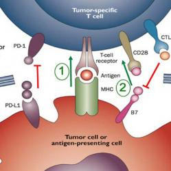 illustration of T cell interacting with tumor cell