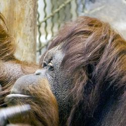 orangutan genome great apes