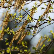 Birch tree pollen