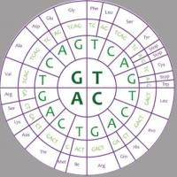 wheel-like drawing of the human genetic code